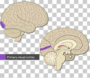 Cerebral Cortex Primary Motor Cortex Visual Cortex Brain PNG