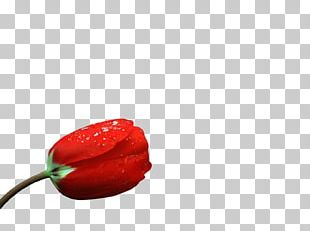 Chili Pepper Bell Pepper Flower Petal PNG