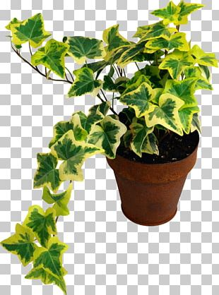 Common Ivy Houseplant Common Fig Devil's Ivy PNG