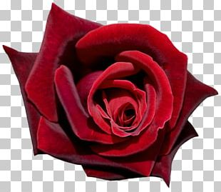 Garden Roses Cut Flowers Petal Flower Garden PNG