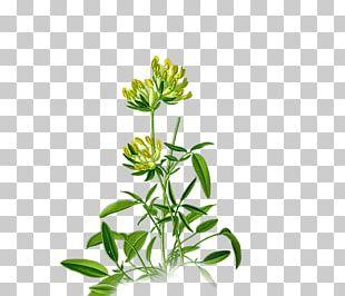 Anthyllis Vulneraria Medicinal Plants Plants For A Future Legumes PNG