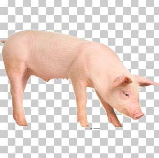 Large White Pig British Landrace Pig Piétrain Duroc Pig Stock Photography PNG