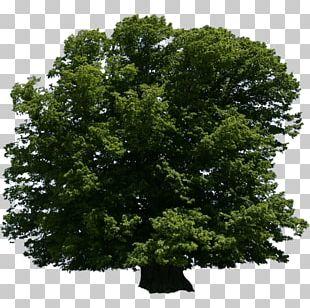 Tree Oak Shrub Arboriculture Lindens PNG