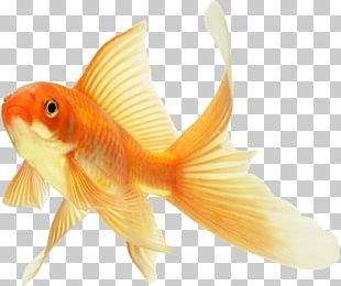 Comet Koi Common Goldfish Ryukin Keeping Goldfish PNG