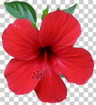 China Rose Shoeblackplant Garden Roses PNG