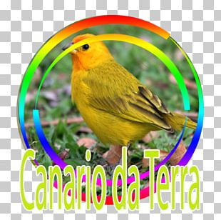 Bird Atlantic Canary Saffron Finch Tanager PNG