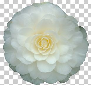 Rolf Büns Japanese Camellia White Double-flowered Plant PNG