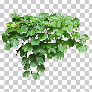Tote Bag Common Ivy Vine Evergreen PNG