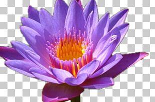 Nelumbo Nucifera Water Lily Flower Desktop Lilium PNG