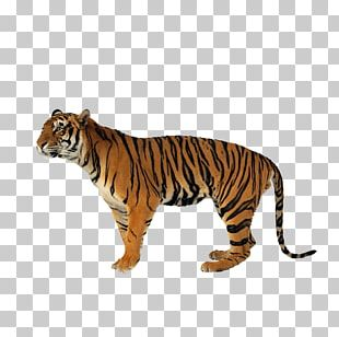 Lion Jaguar Never Scratch A Tiger With A Short Stick Siberian Tiger Bengal Tiger PNG