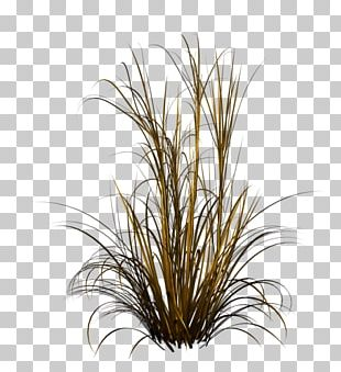 Purple Fountain Grass Lawn Grasses Photography PNG