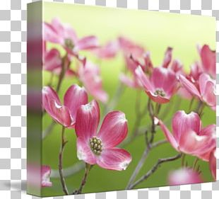 Flowering Dogwood Floral Design Bud Plant Stem PNG