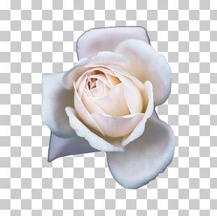 Champagne Garden Roses Beach Rose Flower PNG