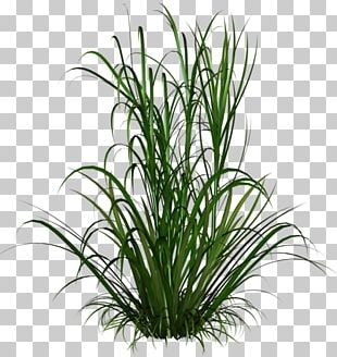 Ornamental Grass PNG