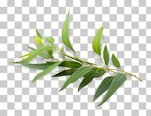 Eucalyptus Radiata Eucalyptus Polybractea Eucalyptus Oil Essential Oil PNG