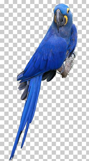 Scarlet Macaw Parrot Blue-and-yellow Macaw Bird Budgerigar PNG