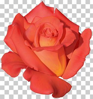 Rose Benih Orange Purple Flower PNG