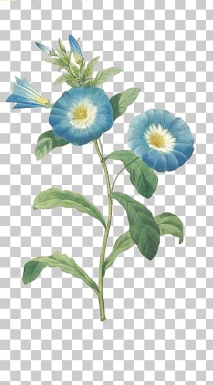 Convolvulus Tricolor Botanical Illustration Morning Glory Flower Botany PNG