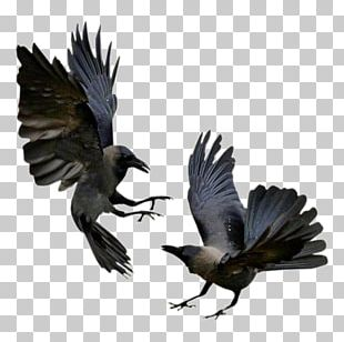 Bird Common Raven House Crow Flight Magpie PNG