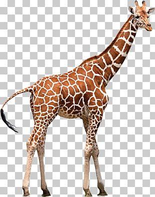 Northern Giraffe Neck Zoo Animal PNG