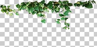 Common Ivy Vine Evergreen Plant Stem Aerial Root PNG