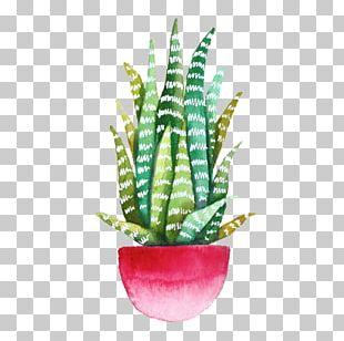 Echeveria Agavoides Drawing Cactaceae Succulent Plant Watercolor Painting PNG