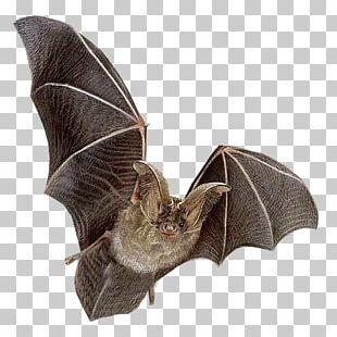 Bat Flying Mammals Ni PNG