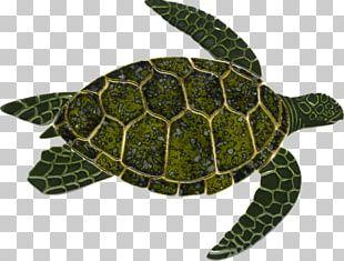 Loggerhead Sea Turtle Reptile Green Sea Turtle PNG