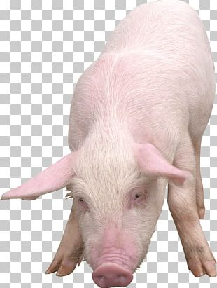 Domestic Pig Clipping Path PNG