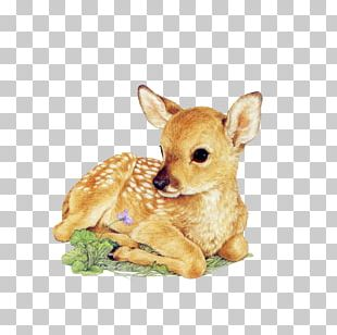Red Deer Drawing White-tailed Deer Infant PNG