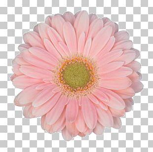 Transvaal Daisy Cut Flowers Flower Bouquet Garden Roses PNG