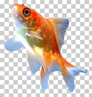 Comet Ryukin Ranchu Koi Fish PNG