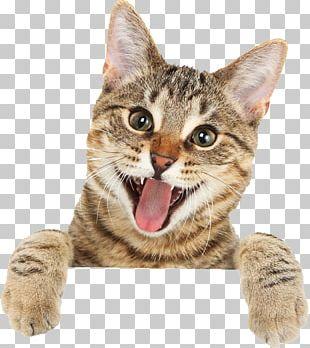 Bengal Cat British Shorthair Ragdoll Turkish Angora Kitten PNG