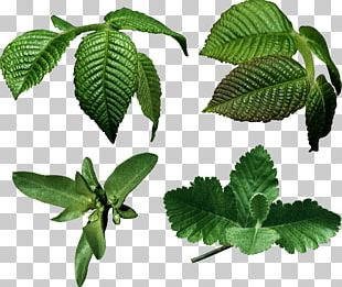 Leaf Nature Tree PNG