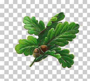 White Oak English Oak Quercus Nigra Acorn Leaf PNG