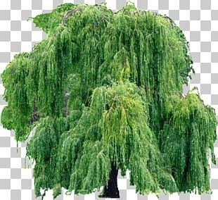 Weeping Willow Tree Salix Caprea Weeping Golden Willow Pussy Willow PNG