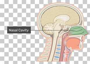 Nasal Cavity Anatomy Of The Human Nose PNG