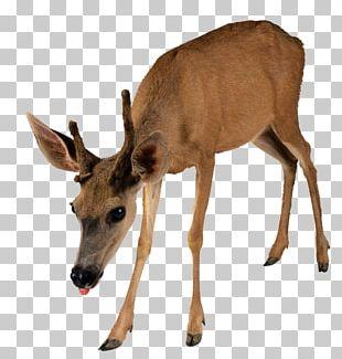 Moose Reindeer Capreolinae PNG