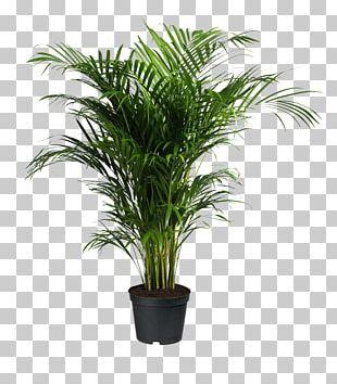 Howea Forsteriana Ravenea Areca Palm Houseplant PNG