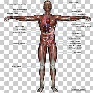 Human Body Organ Anatomy Homo Sapiens Male Reproductive System PNG