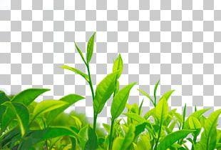 Green Tea Chrysanthemum Tea Leaf Camellia Sinensis PNG