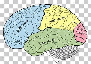 Lobes Of The Brain Parietal Lobe Frontal Lobe Temporal Lobe PNG