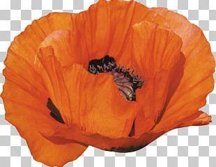 Flower Poppy PNG