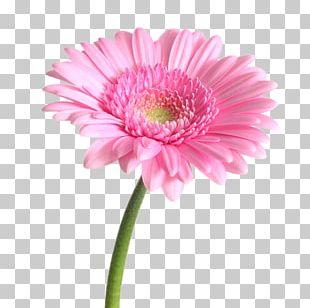 Transvaal Daisy Flower Bouquet Pink Garden Roses PNG