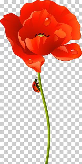 Poppy Cut Flowers Lenovo S90 Garden Roses PNG