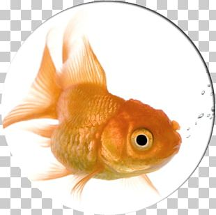 Goldfish Dog Pet Kamloops Cat PNG