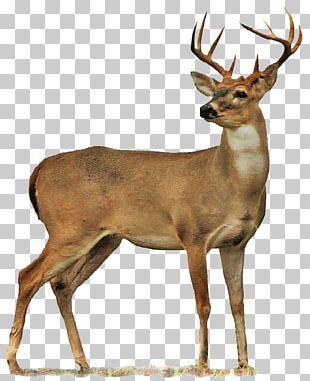 Roe Deer Moose PNG