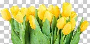 Tulipa Pulchella Flower Yellow PNG