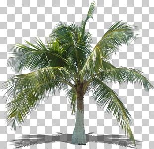 Arecaceae Asian Palmyra Palm Tree Coconut Plant PNG
