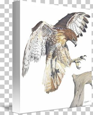 Eagle Red-tailed Hawk Drawing Art PNG